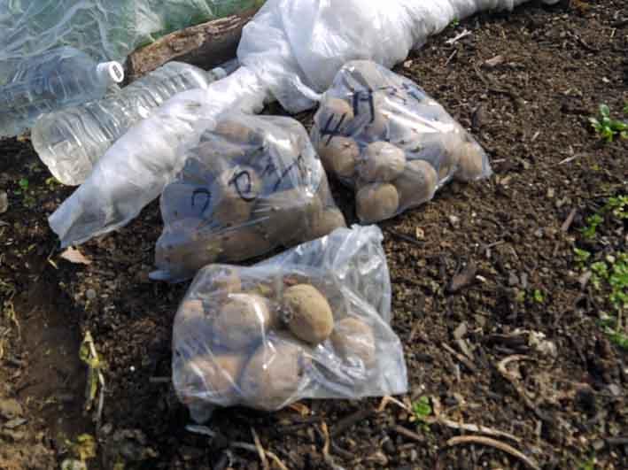 防霜対策して例年より早くジャガイモ植え付け2・17_c0014967_10361086.jpg