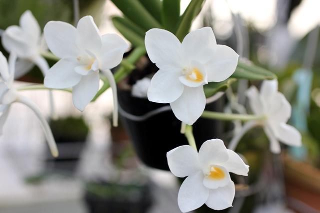 Amesiella philippinensis _d0007501_2355293.jpg