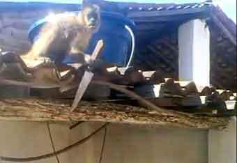 『酒に酔ったサルがナイフ振りまわして逃走 ブラジル』/ こうして進化は始まる?!_b0003330_2124596.jpg