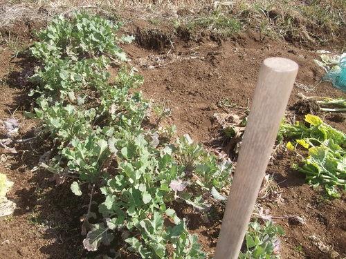冬野菜はj順次処分です。_b0137932_22583931.jpg