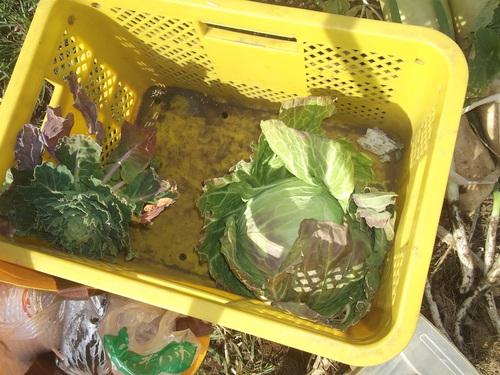 冬野菜はj順次処分です。_b0137932_2301690.jpg