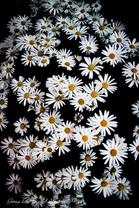 花のある風景 白のサイネリア_b0133053_0114453.jpg
