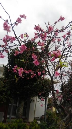 寒緋桜_e0131462_08351510.jpg
