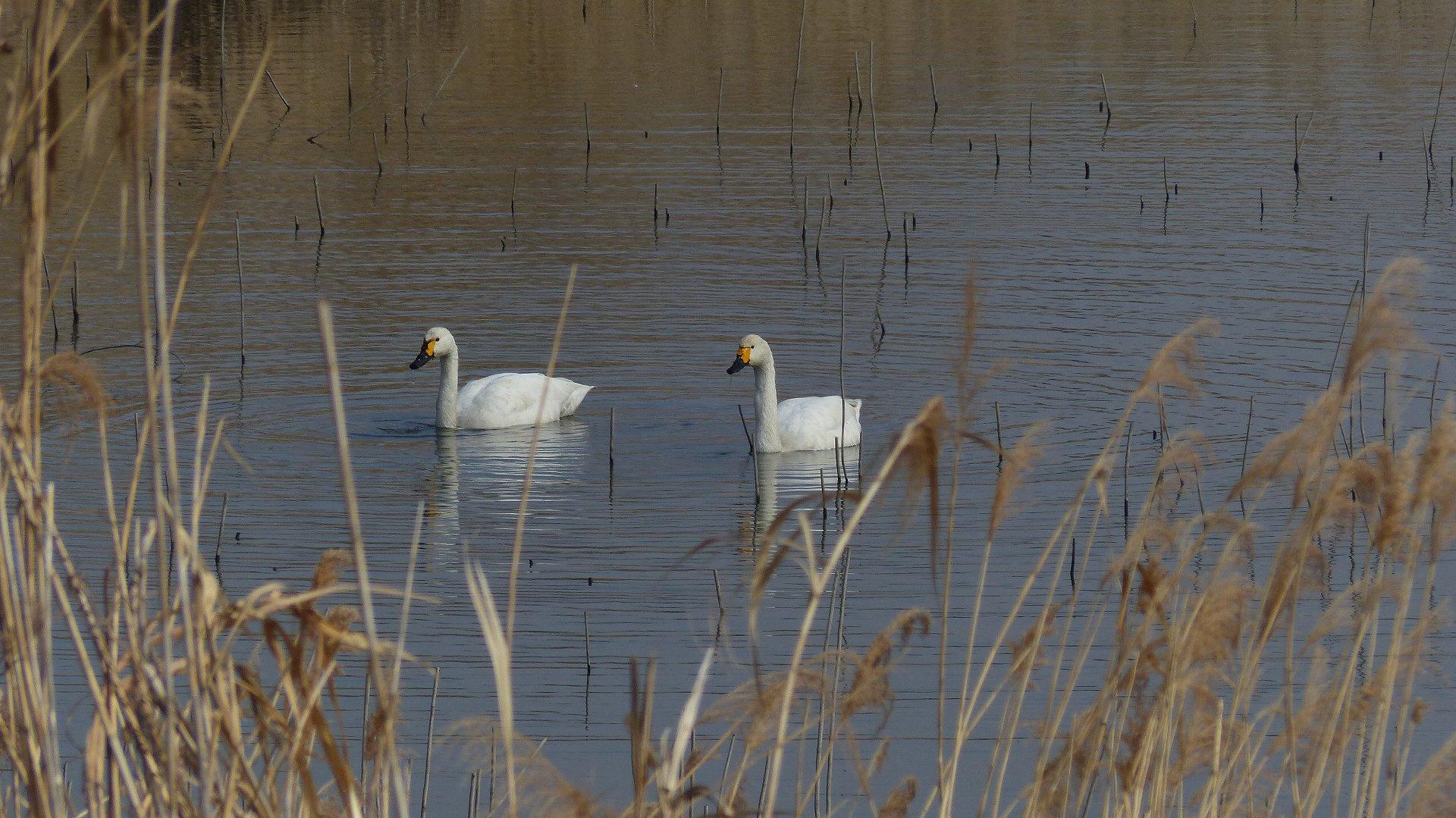 ある日の白鳥ファミリー_a0185081_21153691.jpg