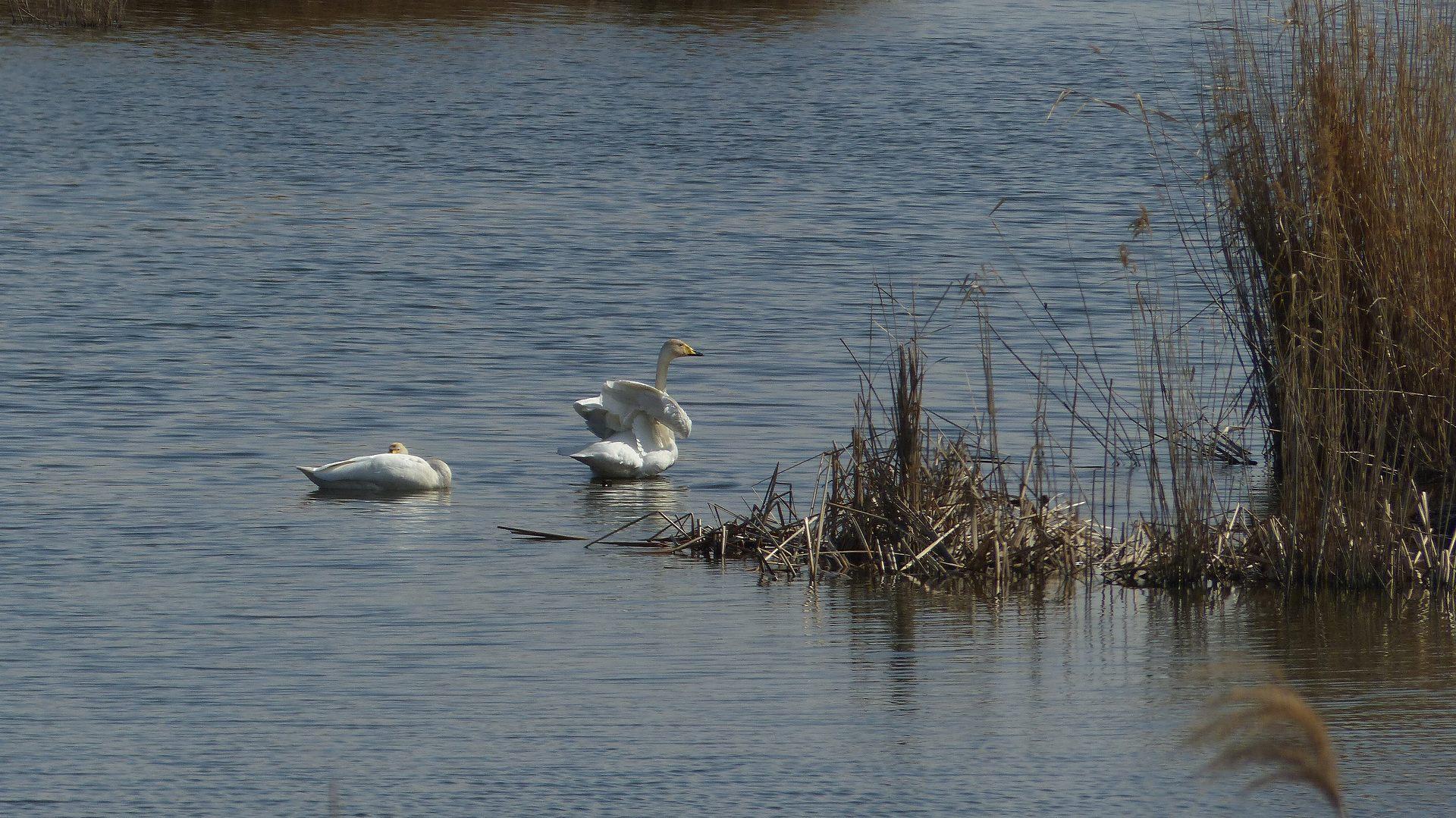 ある日の白鳥ファミリー_a0185081_21162214.jpg