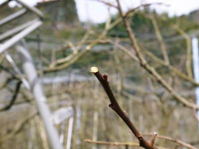 太秋柿 満遍なく日が差し込むように誘引し匠は選定作業を行っていました_a0254656_183911100.jpg
