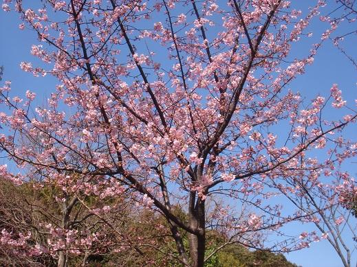 ★近場の河津桜★_e0147297_18184950.jpg