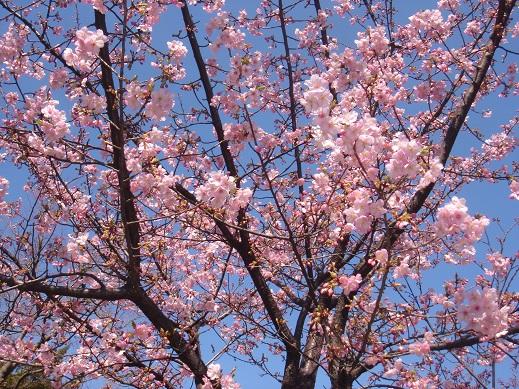 ★近場の河津桜★_e0147297_18194041.jpg