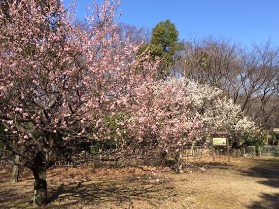 公園の梅と昨日のブランディ_c0090198_18293880.jpg