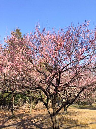 公園の梅と昨日のブランディ_c0090198_18295175.jpg