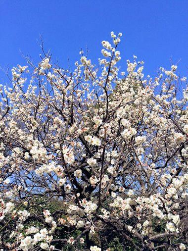 公園の梅と昨日のブランディ_c0090198_18302177.jpg