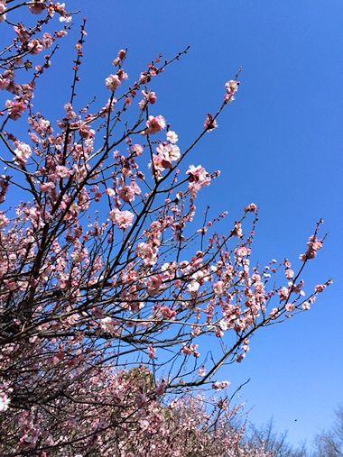公園の梅と昨日のブランディ_c0090198_1830737.jpg