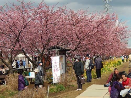 河津桜祭り..IN茅ヶ崎_b0137932_14183895.jpg