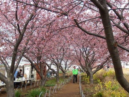 河津桜祭り..IN茅ヶ崎_b0137932_14192513.jpg