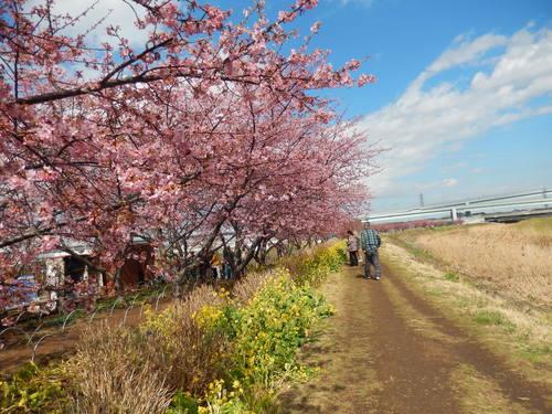 河津桜祭り..IN茅ヶ崎_b0137932_14195817.jpg