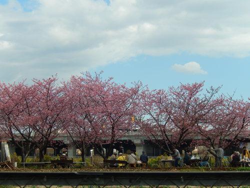 河津桜祭り..IN茅ヶ崎_b0137932_14452190.jpg