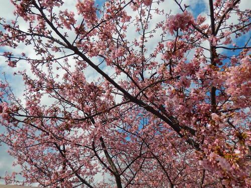 河津桜祭り..IN茅ヶ崎_b0137932_14554231.jpg