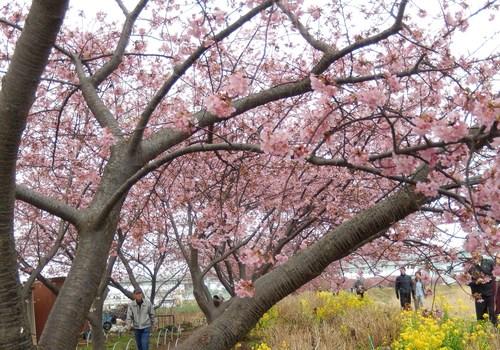 河津桜祭り..IN茅ヶ崎_b0137932_1814997.jpg