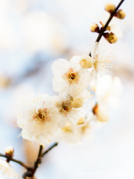花のある風景 咲き始めの白梅_b0133053_042744.jpg