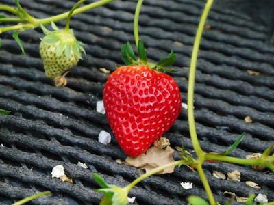 熊本イチゴ『さがほのか』 朝採り即日発送で販売中!収穫の様子を現地取材!!_a0254656_199972.jpg