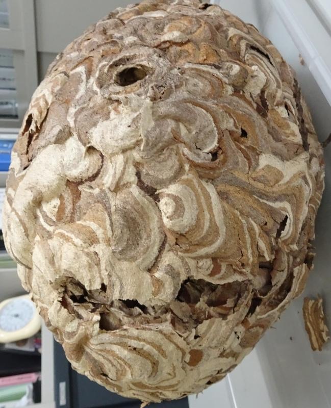 スズメバチの空き巣を2個発見 in うみべの森_c0108460_21322680.jpg