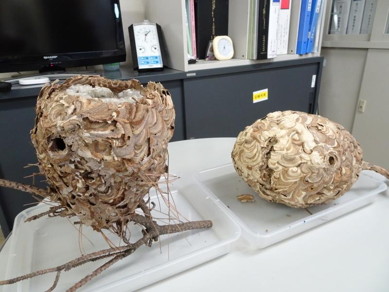 スズメバチの空き巣を2個発見 in うみべの森_c0108460_21322969.jpg