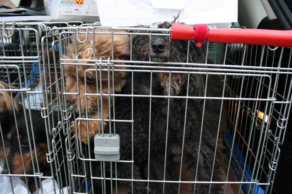 放棄された小型犬たち(2/20)_f0242002_15563623.jpg