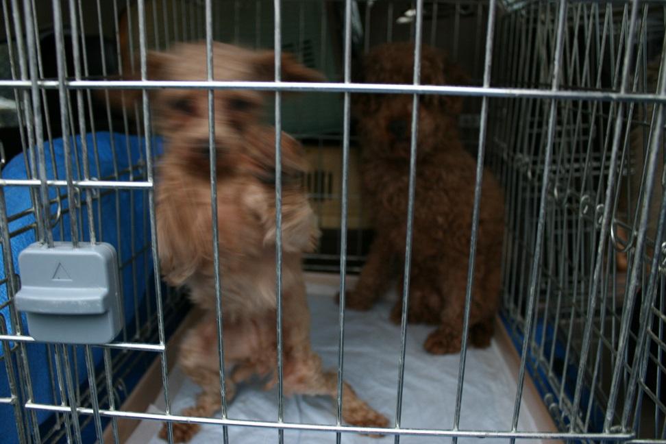 放棄された小型犬たち(2/20)_f0242002_15564211.jpg