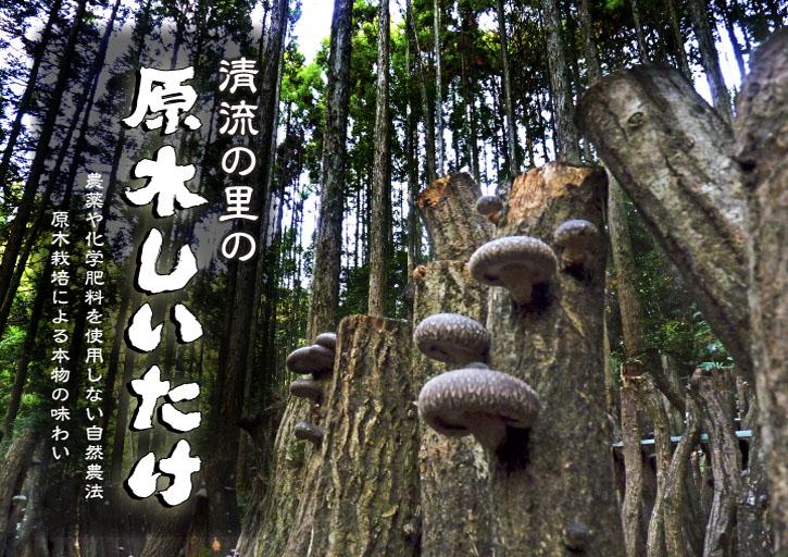 """原木しいたけ 最も美味い""""春子""""です!生しいたけも乾燥しいたけも大好評発売中!!_a0254656_175235.jpg"""
