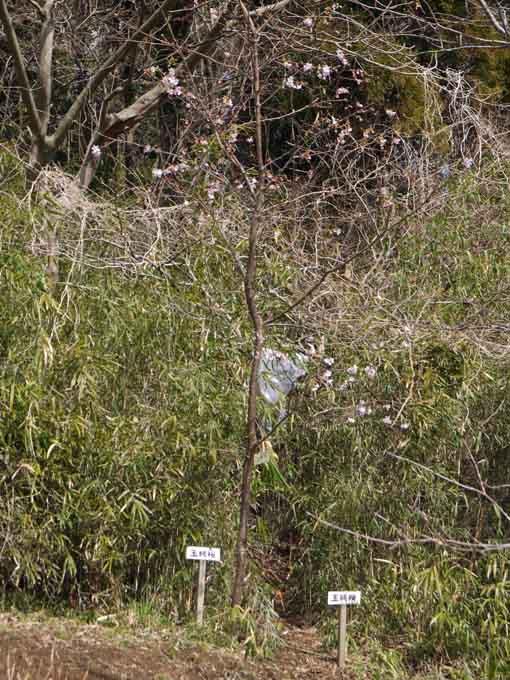 見頃迎えた六国見山森林公園近くのカワズザクラ2・21_c0014967_9105111.jpg