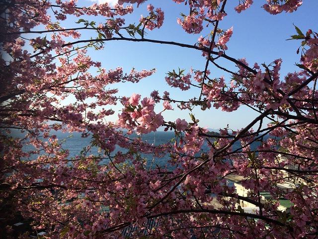 津久見の河津桜♪_d0177220_13432240.jpg