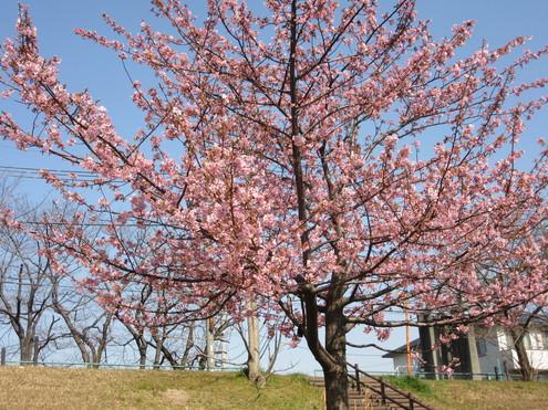 旧中川、河津桜満開。_c0249569_15373191.jpg