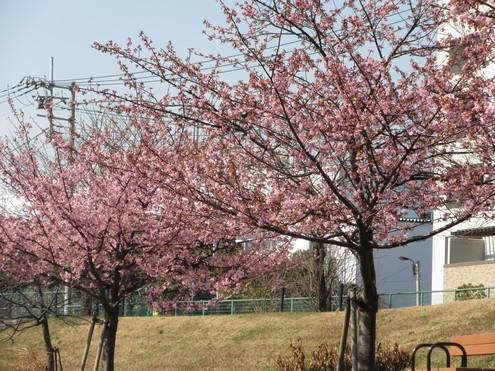 旧中川、河津桜満開。_c0249569_153824.jpg