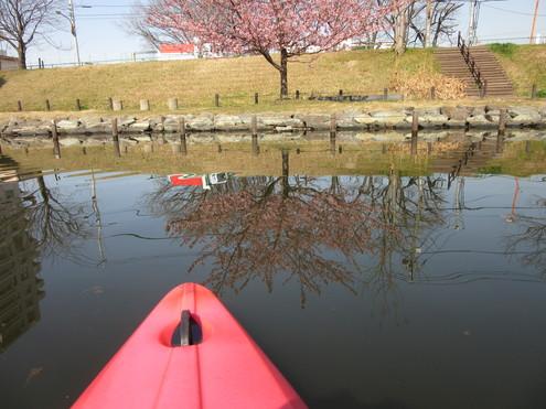 旧中川、河津桜満開。_c0249569_15383842.jpg