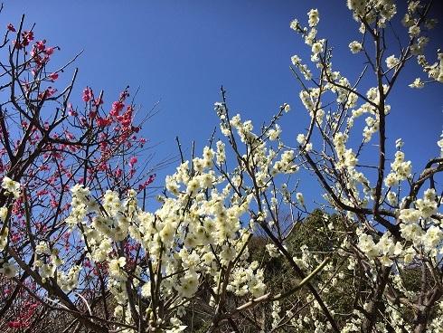 防府天満宮の 梅祭り_a0220570_11221107.jpg