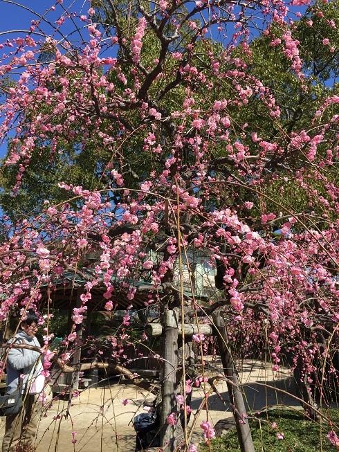 防府天満宮の 梅祭り_a0220570_11243999.jpg
