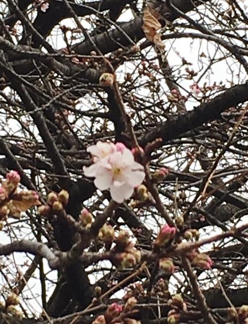 早咲きの桜_e0148373_16594957.jpg