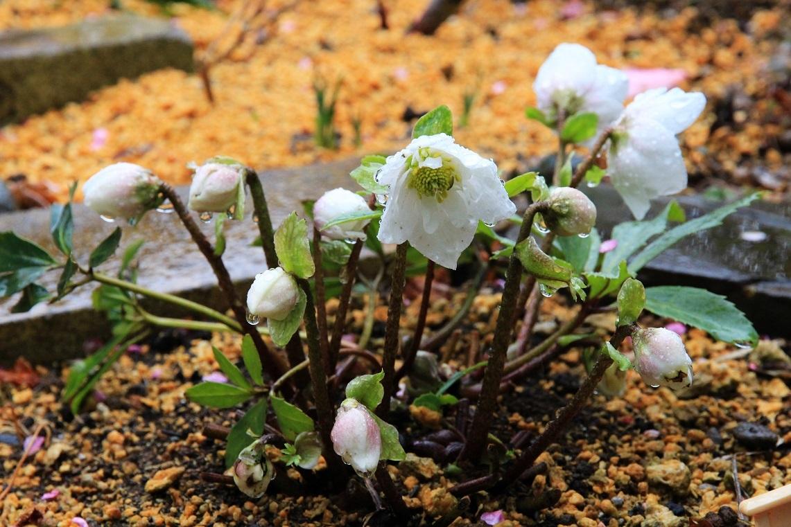 春よ来い ~八重のニゲル、白梅~_a0107574_19252937.jpg