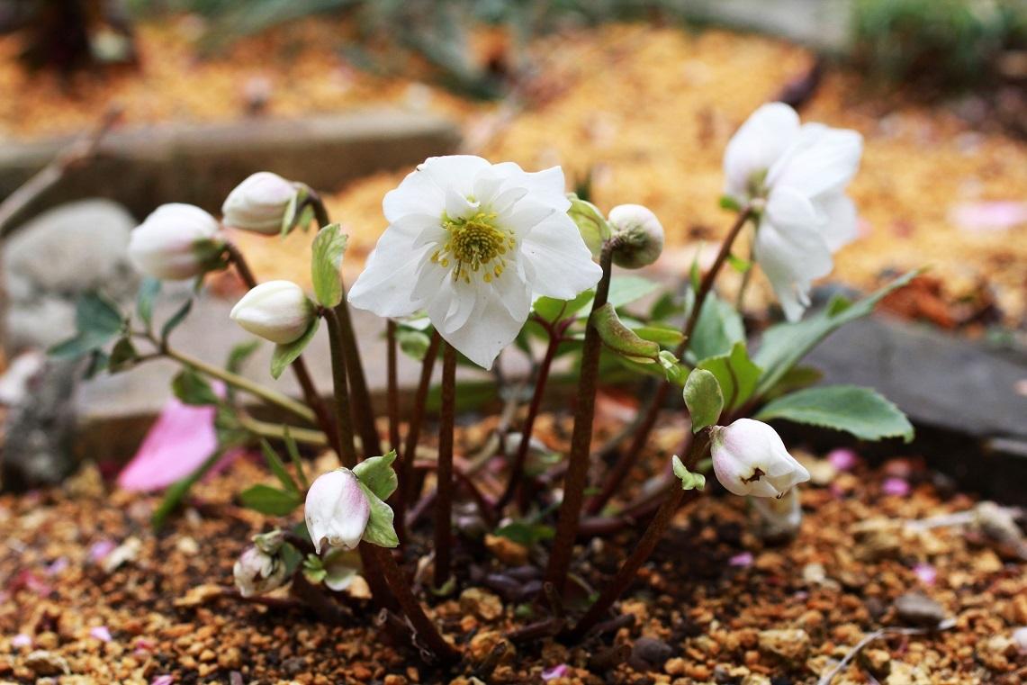 春よ来い ~八重のニゲル、白梅~_a0107574_19253525.jpg