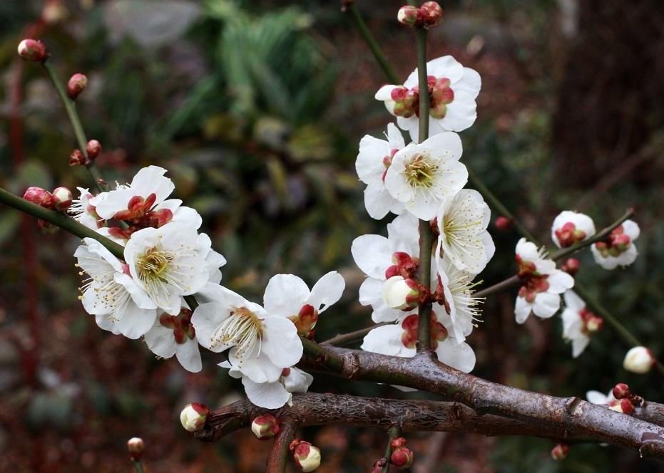 春よ来い ~八重のニゲル、白梅~_a0107574_19254107.jpg