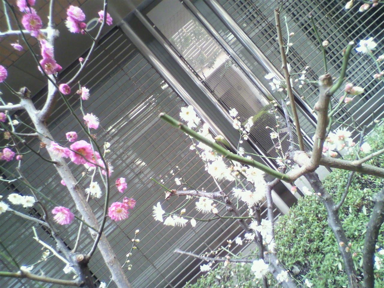 梅は~咲いたか、桜は・・・・・・!?_d0062076_15404739.jpg