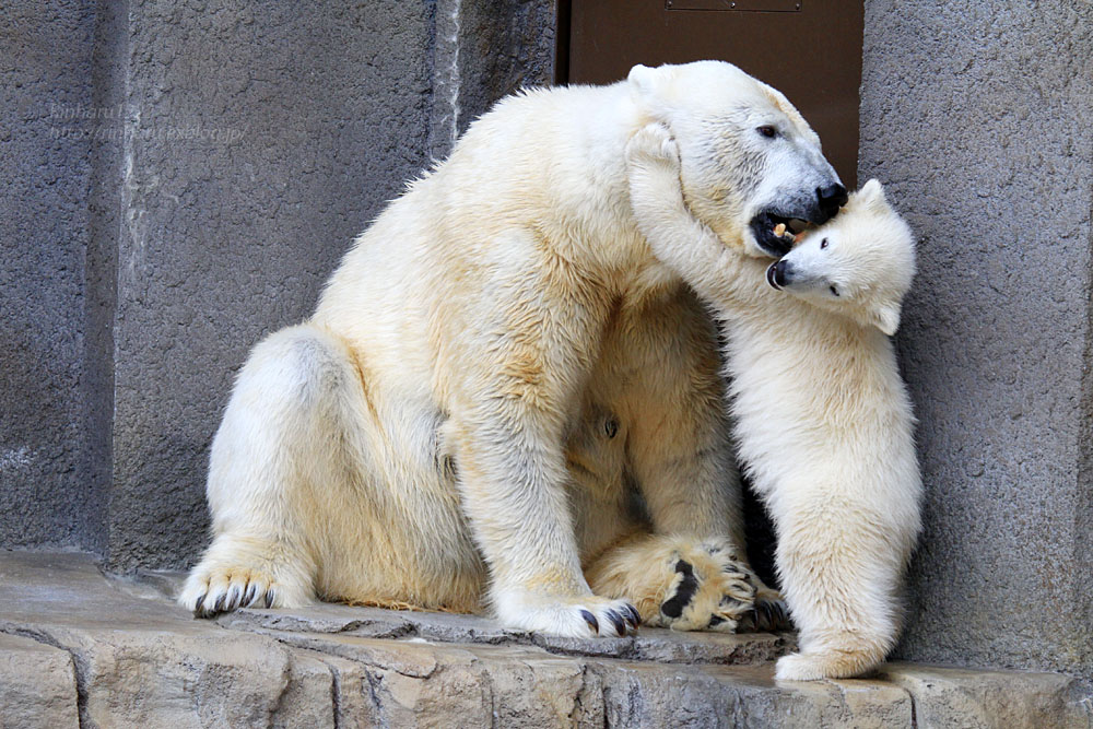 2015.4.30 円山動物園☆ホッキョクグマのララとリラ<その7>【Polar bear】_f0250322_20322877.jpg