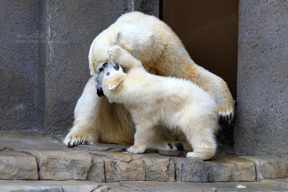 2015.4.30 円山動物園☆ホッキョクグマのララとリラ<その7>【Polar bear】_f0250322_20323775.jpg
