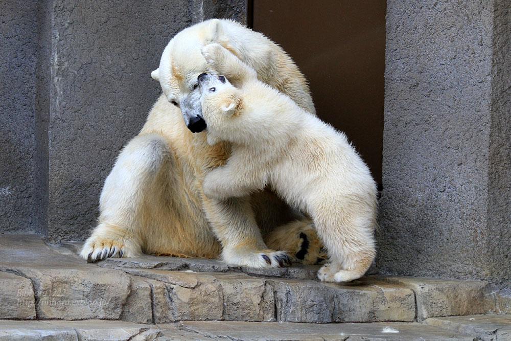 2015.4.30 円山動物園☆ホッキョクグマのララとリラ<その7>【Polar bear】_f0250322_20324163.jpg
