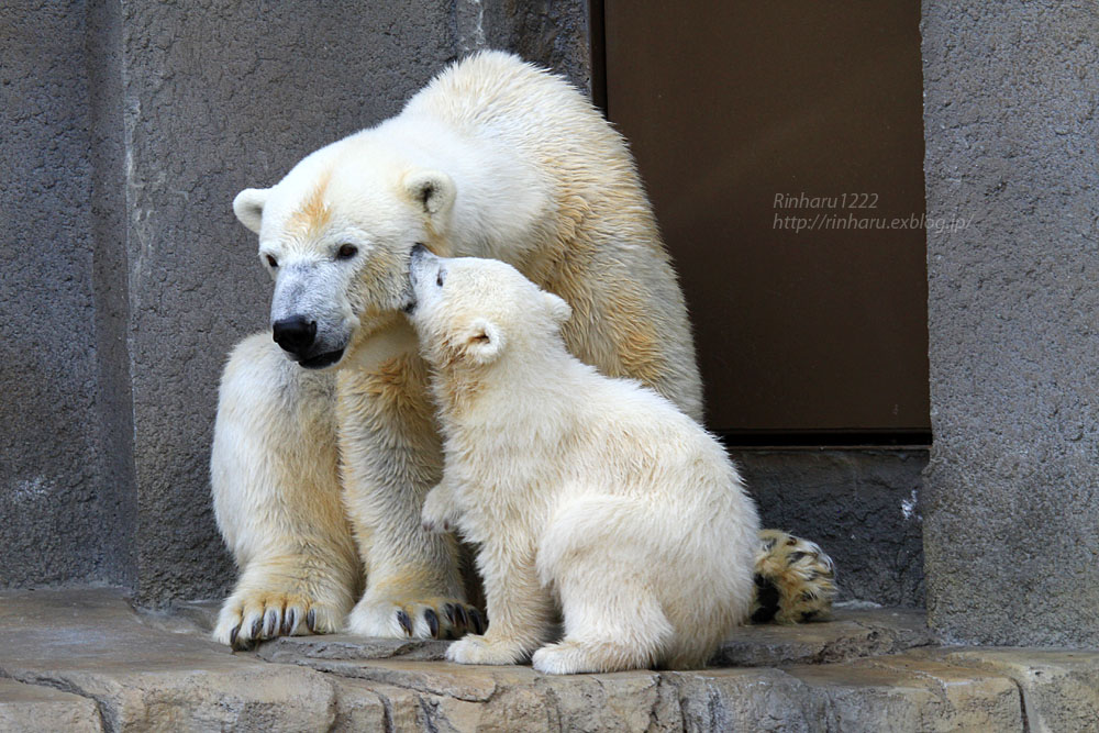 2015.4.30 円山動物園☆ホッキョクグマのララとリラ<その7>【Polar bear】_f0250322_20325330.jpg