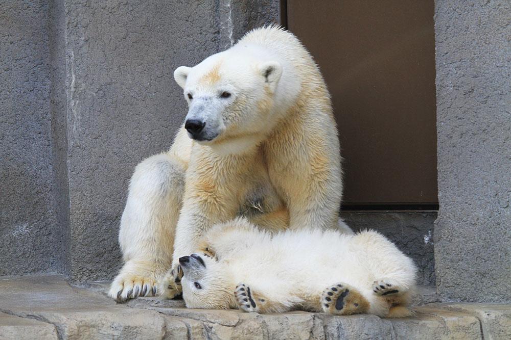 2015.4.30 円山動物園☆ホッキョクグマのララとリラ<その7>【Polar bear】_f0250322_2033141.jpg