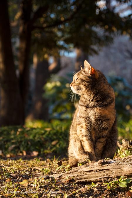 猫のいる風景 日比谷公園 陽だまりのサバトラちゃん_b0133053_0445777.jpg