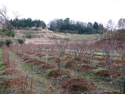無農薬フレッシュブルーベリー 大量の木片チップを投入して腐木土で育てます_a0254656_18115744.jpg