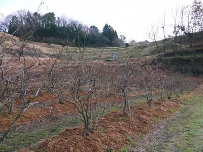 無農薬フレッシュブルーベリー 大量の木片チップを投入して腐木土で育てます_a0254656_18545555.jpg