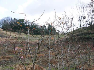 無農薬フレッシュブルーベリー 大量の木片チップを投入して腐木土で育てます_a0254656_18564599.jpg